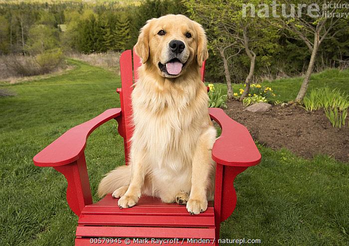 Golden Retriever (Canis familiaris), North America  ,  Adirondack Chair, Adult, Canis familiaris, Color Image, Day, Domestic Dog, Front View, Full Length, Golden Retriever, Horizontal, Looking at Camera, Nobody, North America, One Animal, Open Mouth, Outdoors, Photography,Golden Retriever,North America  ,  Mark Raycroft