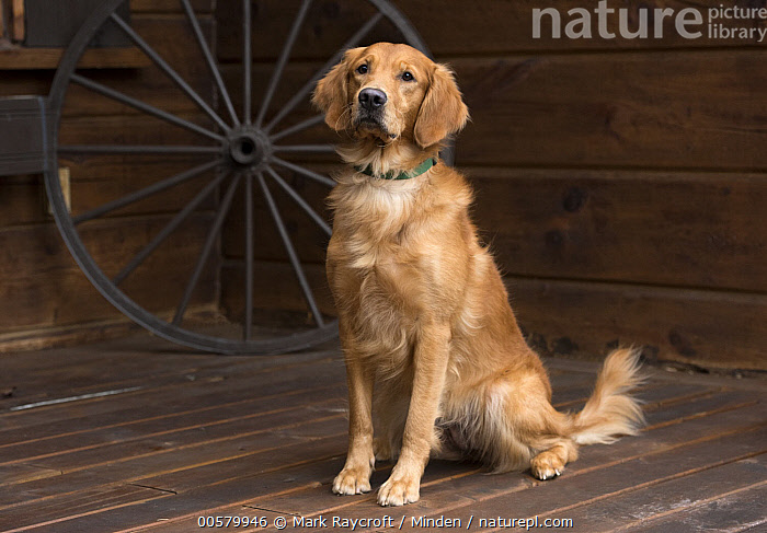 Golden Retriever (Canis familiaris), North America, Adult, Canis familiaris, Color Image, Day, Domestic Dog, Full Length, Golden Retriever, Horizontal, Nobody, North America, One Animal, Outdoors, Photography, Side View,Golden Retriever,North America, Mark Raycroft