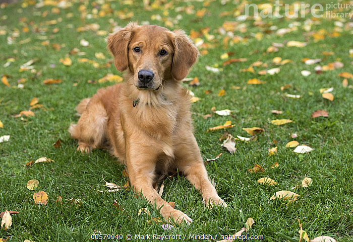 Golden Retriever (Canis familiaris), North America  ,  Adult, Canis familiaris, Color Image, Day, Domestic Dog, Front View, Full Length, Golden Retriever, Horizontal, Looking at Camera, Nobody, North America, One Animal, Outdoors, Photography,Golden Retriever,North America  ,  Mark Raycroft