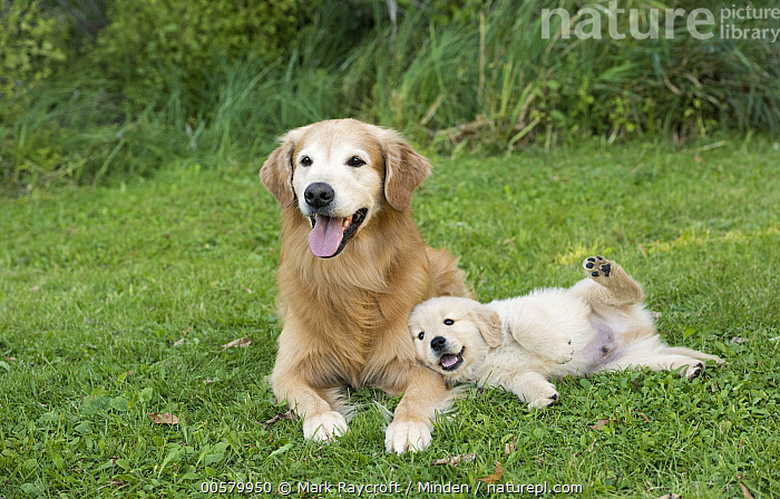 Golden Retriever (Canis familiaris) parent with puppy, North America, Adult, Baby, Canis familiaris, Color Image, Cute, Day, Domestic Dog, Front View, Full Length, Golden Retriever, Horizontal, Looking at Camera, Nobody, North America, Outdoors, Parent, Photography, Puppy, Side View, Two Animals,Golden Retriever,North America, Mark Raycroft