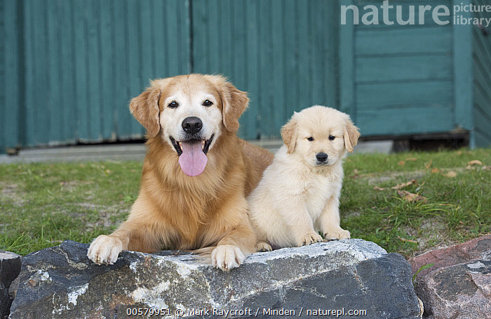 Golden Retriever (Canis familiaris) parent with puppy, North America, Adult, Baby, Canis familiaris, Color Image, Cute, Day, Domestic Dog, Front View, Full Length, Golden Retriever, Horizontal, Looking at Camera, Nobody, North America, Open Mouth, Outdoors, Panting, Parent, Photography, Puppy, Side View, Two Animals,Golden Retriever,North America, Mark Raycroft