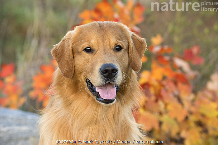 Golden Retriever (Canis familiaris), North America, Adult, Canis familiaris, Color Image, Day, Domestic Dog, Front View, Golden Retriever, Head and Shoulders, Horizontal, Looking at Camera, Nobody, North America, One Animal, Open Mouth, Outdoors, Photography, Portrait,Golden Retriever,North America, Mark Raycroft