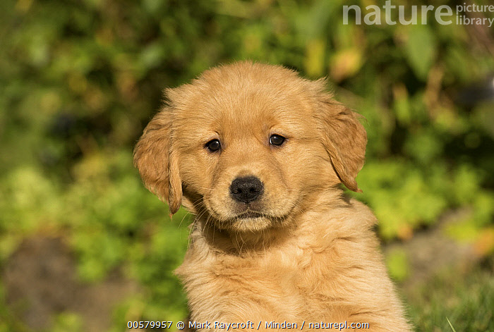Golden Retriever (Canis familiaris) puppy, North America  ,  Baby, Canis familiaris, Close Up, Color Image, Cute, Day, Domestic Dog, Front View, Golden Retriever, Head and Shoulders, Horizontal, Looking at Camera, Nobody, North America, One Animal, Outdoors, Photography, Portrait, Puppy,Golden Retriever,North America  ,  Mark Raycroft