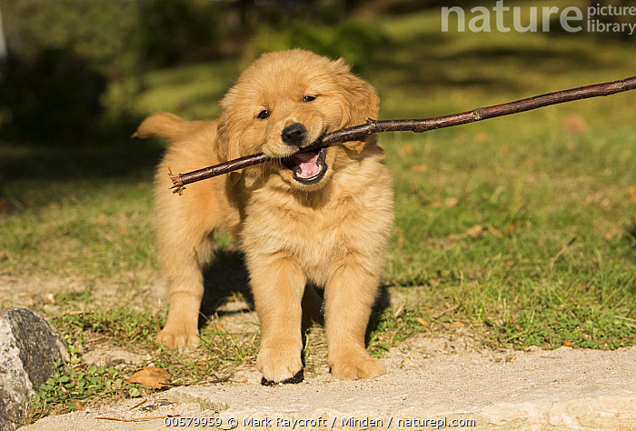 Golden Retriever (Canis familiaris) puppy playing with stick, North America, Baby, Canis familiaris, Carrying, Color Image, Cute, Day, Domestic Dog, Fetching, Front View, Full Length, Golden Retriever, Horizontal, Looking at Camera, Nobody, North America, One Animal, Outdoors, Photography, Playing, Puppy, Stick,Golden Retriever,North America, Mark Raycroft