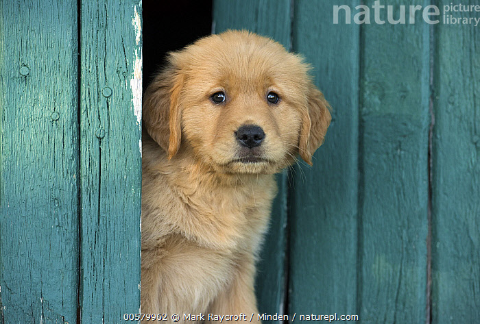 Golden Retriever (Canis familiaris) puppy, North America  ,  Baby, Canis familiaris, Color Image, Cute, Day, Domestic Dog, Full Length, Golden Retriever, Horizontal, Looking at Camera, Nobody, North America, One Animal, Outdoors, Photography, Puppy, Side View, Waist Up,Golden Retriever,North America  ,  Mark Raycroft