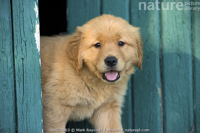 Golden Retriever (Canis familiaris) puppy, North America  ,  Baby, Canis familiaris, Color Image, Cute, Day, Domestic Dog, Golden Retriever, Horizontal, Looking at Camera, Nobody, North America, One Animal, Open Mouth, Outdoors, Photography, Puppy, Side View, Waist Up,Golden Retriever,North America  ,  Mark Raycroft
