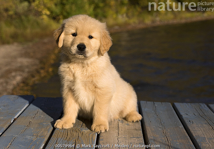 Golden Retriever (Canis familiaris) puppy, North America  ,  Baby, Canis familiaris, Color Image, Cute, Day, Domestic Dog, Front View, Full Length, Golden Retriever, Horizontal, Looking at Camera, Nobody, North America, One Animal, Outdoors, Photography, Puppy,Golden Retriever,North America  ,  Mark Raycroft