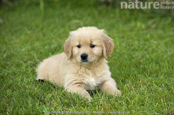 Golden Retriever (Canis familiaris) puppy, North America  ,  Baby, Canis familiaris, Color Image, Cute, Day, Domestic Dog, Full Length, Golden Retriever, Horizontal, Nobody, North America, One Animal, Outdoors, Photography, Puppy, Side View,Golden Retriever,North America  ,  Mark Raycroft