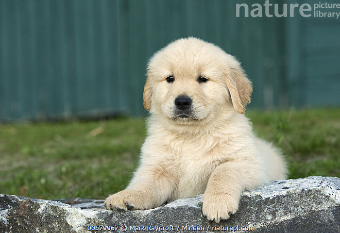 Golden Retriever (Canis familiaris) puppy, North America  ,  Baby, Canis familiaris, Color Image, Cute, Day, Domestic Dog, Front View, Full Length, Golden Retriever, Horizontal, Nobody, North America, One Animal, Outdoors, Photography, Puppy,Golden Retriever,North America  ,  Mark Raycroft