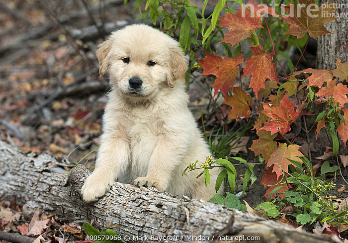 Golden Retriever (Canis familiaris) puppy, North America, Baby, Canis familiaris, Color Image, Cute, Day, Domestic Dog, Front View, Full Length, Golden Retriever, Horizontal, Looking at Camera, Nobody, North America, One Animal, Outdoors, Photography, Puppy,Golden Retriever,North America, Mark Raycroft