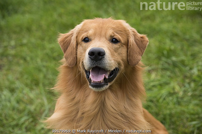 Golden Retriever (Canis familiaris), North America  ,  Adult, Canis familiaris, Close Up, Color Image, Day, Domestic Dog, Front View, Golden Retriever, Head and Shoulders, Horizontal, Looking at Camera, Nobody, North America, One Animal, Open Mouth, Outdoors, Photography, Portrait, Smiling,Golden Retriever,North America  ,  Mark Raycroft