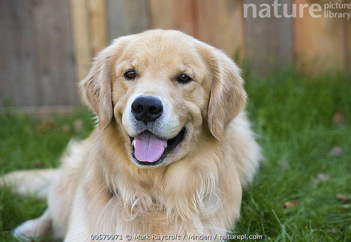 Golden Retriever (Canis familiaris), North America, Adult, Canis familiaris, Color Image, Day, Domestic Dog, Front View, Golden Retriever, Horizontal, Looking at Camera, Nobody, North America, One Animal, Open Mouth, Outdoors, Photography, Three Quarter Length,Golden Retriever,North America, Mark Raycroft
