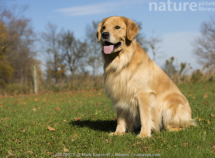 Golden Retriever (Canis familiaris), North America, Adult, Canis familiaris, Color Image, Day, Domestic Dog, Full Length, Golden Retriever, Horizontal, Nobody, North America, One Animal, Outdoors, Panting, Photography, Side View,Golden Retriever,North America, Mark Raycroft