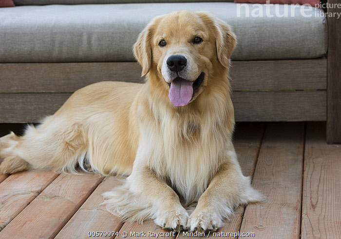 Golden Retriever (Canis familiaris), North America, Adult, Canis familiaris, Color Image, Day, Domestic Dog, Front View, Full Length, Golden Retriever, Horizontal, Looking at Camera, Nobody, North America, One Animal, Outdoors, Panting, Photography, Tongue,Golden Retriever,North America, Mark Raycroft