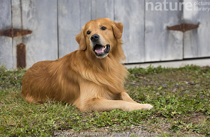 Golden Retriever (Canis familiaris), North America  ,  Adult, Canis familiaris, Color Image, Day, Domestic Dog, Full Length, Golden Retriever, Horizontal, Nobody, North America, One Animal, Outdoors, Photography, Side View,Golden Retriever,North America  ,  Mark Raycroft