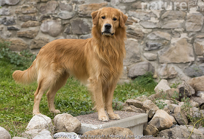 Golden Retriever (Canis familiaris), North America  ,  Adult, Canis familiaris, Color Image, Day, Domestic Dog, Full Length, Golden Retriever, Horizontal, Looking at Camera, Nobody, North America, One Animal, Outdoors, Photography, Side View,Golden Retriever,North America  ,  Mark Raycroft