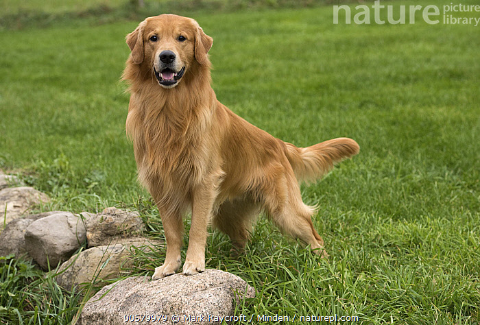 Golden Retriever (Canis familiaris), North America, Adult, Canis familiaris, Color Image, Day, Domestic Dog, Full Length, Golden Retriever, Horizontal, Looking at Camera, Nobody, North America, One Animal, Outdoors, Photography, Side View,Golden Retriever,North America, Mark Raycroft