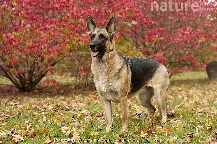 German Shepherd (Canis familiaris) female, North America, Adult, Canis familiaris, Color Image, Day, Domestic Dog, Female, Full Length, German Shepherd, Horizontal, Nobody, North America, One Animal, Outdoors, Photography, Side View,German Shepherd,North America, Mark Raycroft