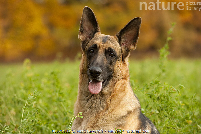 German Shepherd (Canis familiaris) female, North America, Adult, Canis familiaris, Close Up, Color Image, Day, Domestic Dog, Female, Front View, German Shepherd, Head and Shoulders, Horizontal, Looking at Camera, Nobody, North America, One Animal, Outdoors, Panting, Photography, Portrait,German Shepherd,North America, Mark Raycroft