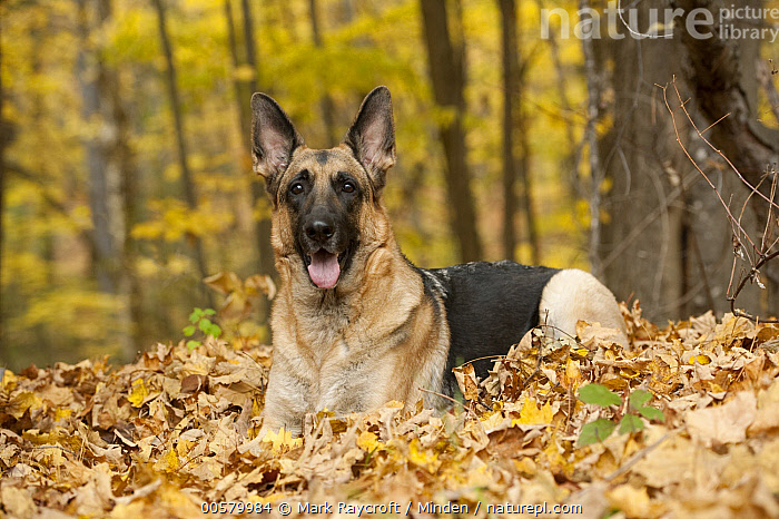 German Shepherd (Canis familiaris) female, North America, Adult, Canis familiaris, Color Image, Day, Domestic Dog, Female, Full Length, German Shepherd, Horizontal, Looking at Camera, Nobody, North America, One Animal, Outdoors, Panting, Photography, Side View,German Shepherd,North America, Mark Raycroft
