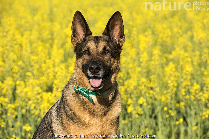 German Shepherd (Canis familiaris), North America, Adult, Canis familiaris, Color Image, Day, Domestic Dog, Front View, German Shepherd, Horizontal, Looking at Camera, Nobody, North America, One Animal, Open Mouth, Outdoors, Photography, Waist Up,German Shepherd,North America, Mark Raycroft