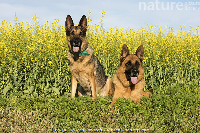 German Shepherd (Canis familiaris) pair, North America  ,  Adult, Canis familiaris, Color Image, Day, Domestic Dog, Front View, Full Length, German Shepherd, Horizontal, Looking at Camera, Nobody, North America, Outdoors, Panting, Photography, Two Animals,German Shepherd,North America  ,  Mark Raycroft