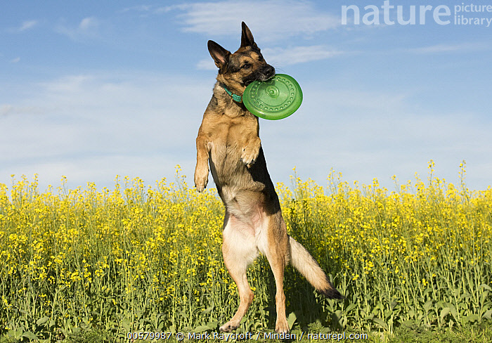 German Shepherd (Canis familiaris) playing with frisbee, North America  ,  Adult, Canis familiaris, Catching, Carrying, Color Image, Day, Domestic Dog, Front View, Full Length, German Shepherd, Horizontal, Jumping, Nobody, North America, One Animal, Outdoors, Photography, Playing,German Shepherd,North America  ,  Mark Raycroft