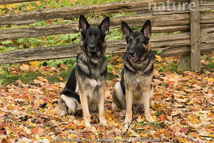 German Shepherd (Canis familiaris) pair, North America  ,  Adult, Canis familiaris, Color Image, Day, Domestic Dog, Front View, Full Length, German Shepherd, Horizontal, Looking at Camera, Nobody, North America, Outdoors, Photography, Two Animals,German Shepherd,North America  ,  Mark Raycroft