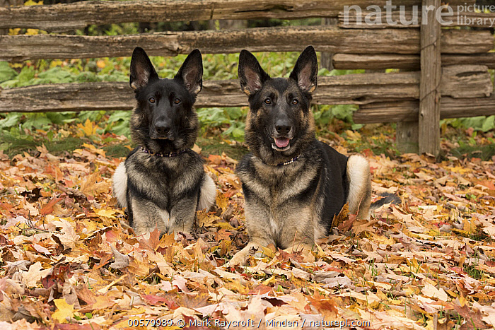 German Shepherd (Canis familiaris) pair, North America, Adult, Canis familiaris, Color Image, Day, Domestic Dog, Front View, Full Length, German Shepherd, Horizontal, Looking at Camera, Nobody, North America, Outdoors, Photography, Two Animals,German Shepherd,North America, Mark Raycroft