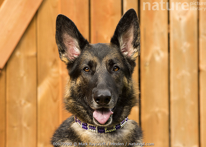 German Shepherd (Canis familiaris), North America  ,  Adult, Canis familiaris, Close Up, Color Image, Day, Domestic Dog, Front View, German Shepherd, Head and Shoulders, Horizontal, Looking at Camera, Nobody, North America, One Animal, Open Mouth, Outdoors, Photography, Portrait,German Shepherd,North America  ,  Mark Raycroft