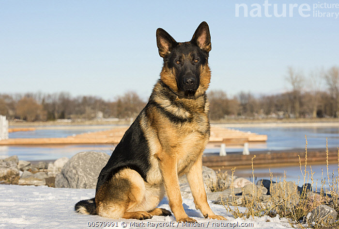 German Shepherd (Canis familiaris) in winter, North America  ,  Adult, Canis familiaris, Color Image, Day, Domestic Dog, Full Length, German Shepherd, Horizontal, Looking at Camera, Nobody, North America, One Animal, Outdoors, Photography, Side View, Winter,German Shepherd,North America  ,  Mark Raycroft