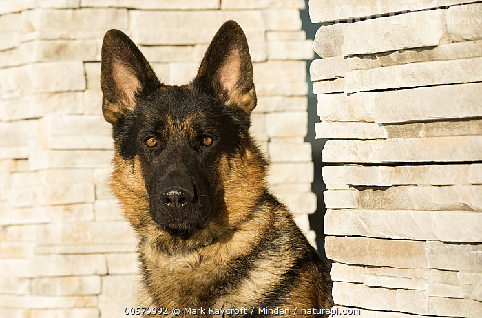 German Shepherd (Canis familiaris), North America  ,  Adult, Canis familiaris, Close Up, Color Image, Day, Domestic Dog, Front View, German Shepherd, Head and Shoulders, Horizontal, Looking at Camera, Nobody, North America, One Animal, Outdoors, Photography, Portrait,German Shepherd,North America  ,  Mark Raycroft