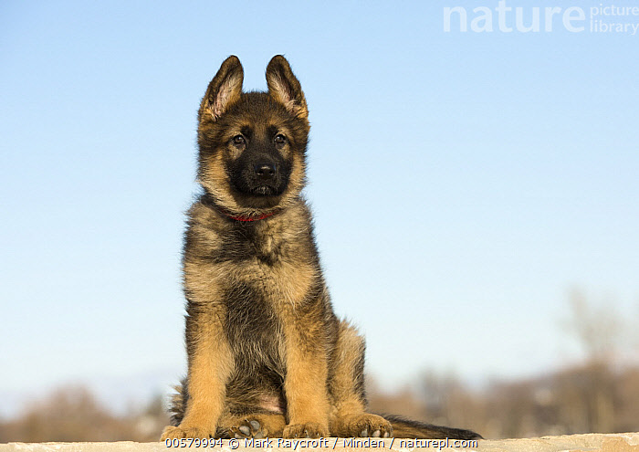 German Shepherd (Canis familiaris) puppy, North America  ,  Baby, Canis familiaris, Color Image, Cute, Day, Domestic Dog, Front View, Full Length, German Shepherd, Horizontal, Looking at Camera, Nobody, North America, One Animal, Outdoors, Photography, Puppy,German Shepherd,North America  ,  Mark Raycroft
