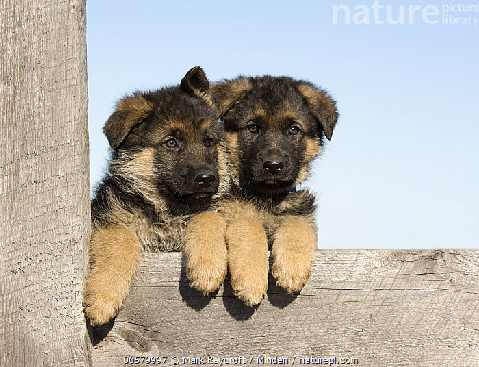 German Shepherd (Canis familiaris) puppies, North America  ,  Baby, Canis familiaris, Color Image, Cute, Day, Domestic Dog, Front View, German Shepherd, Horizontal, Looking at Camera, Nobody, North America, Outdoors, Photography, Puppy, Two Animals, Waist Up,German Shepherd,North America  ,  Mark Raycroft
