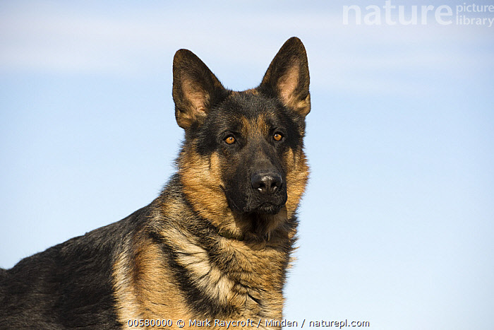 German Shepherd (Canis familiaris) male, North America  ,  Adult, Canis familiaris, Close Up, Color Image, Day, Domestic Dog, German Shepherd, Horizontal, Male, Nobody, North America, One Animal, Outdoors, Photography, Side View, Waist Up,German Shepherd,North America  ,  Mark Raycroft
