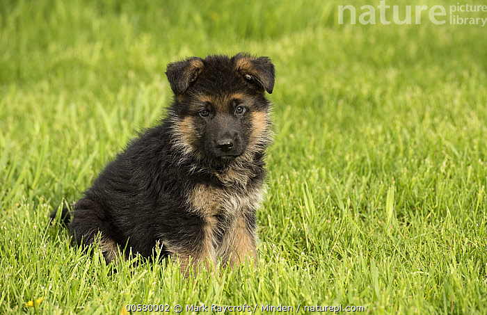 German Shepherd (Canis familiaris) puppy, North America  ,  Baby, Canis familiaris, Color Image, Cute, Day, Domestic Dog, Full Length, German Shepherd, Horizontal, Looking at Camera, Nobody, North America, One Animal, Outdoors, Photography, Puppy, Side View,German Shepherd,North America  ,  Mark Raycroft