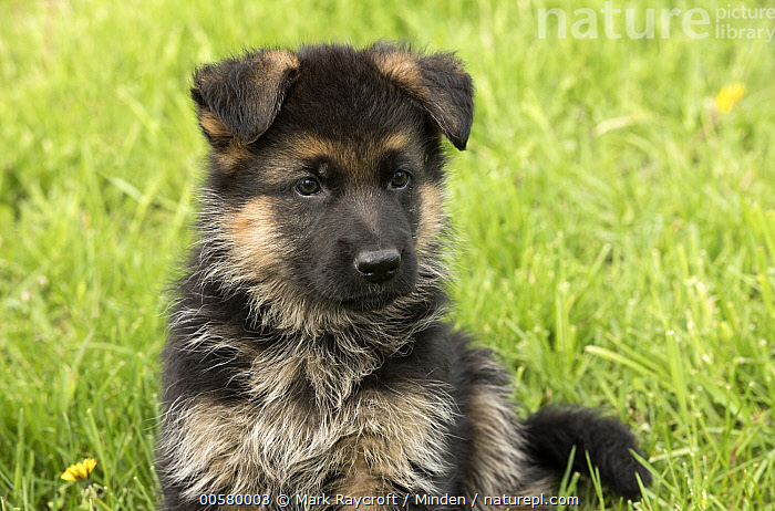 German Shepherd (Canis familiaris) puppy, North America, Baby, Canis familiaris, Close Up, Color Image, Cute, Day, Domestic Dog, Front View, German Shepherd, Horizontal, Nobody, North America, One Animal, Outdoors, Photography, Puppy, Three Quarter Length,German Shepherd,North America, Mark Raycroft