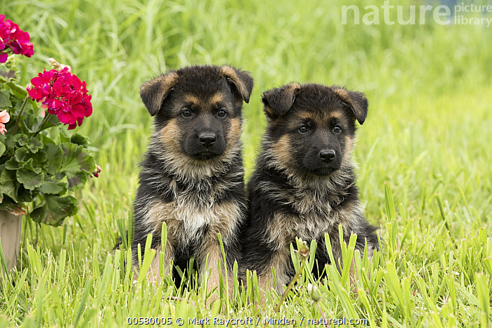 German Shepherd (Canis familiaris) puppies, North America, Baby, Canis familiaris, Color Image, Cute, Day, Domestic Dog, Front View, Full Length, German Shepherd, Horizontal, Nobody, North America, Outdoors, Photography, Puppy, Two Animals,German Shepherd,North America, Mark Raycroft