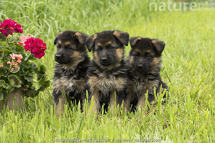 German Shepherd (Canis familiaris) puppies, North America, Baby, Canis familiaris, Color Image, Cute, Day, Domestic Dog, Front View, Full Length, German Shepherd, Horizontal, Nobody, North America, Outdoors, Photography, Puppy, Three Animals,German Shepherd,North America, Mark Raycroft