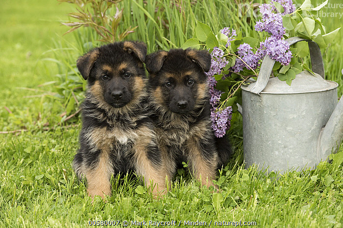 German Shepherd (Canis familiaris) puppies, North America, Baby, Canis familiaris, Color Image, Cute, Day, Domestic Dog, Front View, Full Length, German Shepherd, Horizontal, Looking at Camera, Nobody, North America, Outdoors, Photography, Puppy, Two Animals,German Shepherd,North America, Mark Raycroft