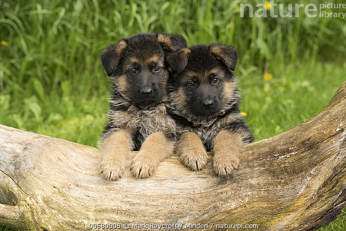 German Shepherd (Canis familiaris) puppies, North America  ,  Baby, Canis familiaris, Color Image, Cute, Day, Domestic Dog, Front View, Full Length, German Shepherd, Horizontal, Looking at Camera, Nobody, North America, Outdoors, Photography, Puppy, Two Animals,German Shepherd,North America  ,  Mark Raycroft
