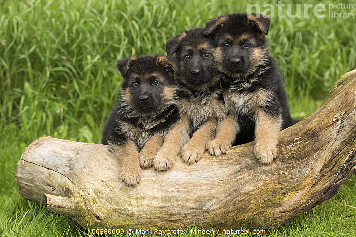 German Shepherd (Canis familiaris) puppies, North America  ,  Baby, Canis familiaris, Color Image, Cute, Day, Domestic Dog, Front View, Full Length, German Shepherd, Horizontal, Looking at Camera, Nobody, North America, Outdoors, Photography, Puppy, Three Animals,German Shepherd,North America  ,  Mark Raycroft