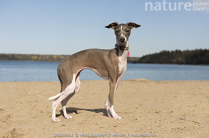 Italian Greyhound (Canis familiaris) female, North America, Adult, Canis familiaris, Color Image, Day, Domestic Dog, Female, Full Length, Horizontal, Italian Greyhound, Looking at Camera, Nobody, North America, One Animal, Outdoors, Photography, Side View,Italian Greyhound,North America, Mark Raycroft