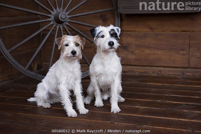 Jack Russell Terrier (Canis familiaris) pair, North America  ,  Adult, Canis familiaris, Color Image, Day, Difference, Domestic Dog, Front View, Full Length, Horizontal, Jack Russell Terrier, Nobody, North America, Outdoors, Photography, Side View, Two Animals,Jack Russell Terrier,North America  ,  Mark Raycroft