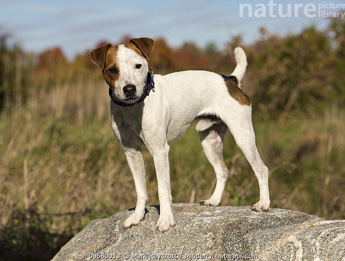 Jack Russell Terrier (Canis familiaris), North America, Adult, Canis familiaris, Color Image, Day, Domestic Dog, Full Length, Horizontal, Jack Russell Terrier, Looking at Camera, Nobody, North America, One Animal, Outdoors, Photography, Side View,Jack Russell Terrier,North America, Mark Raycroft