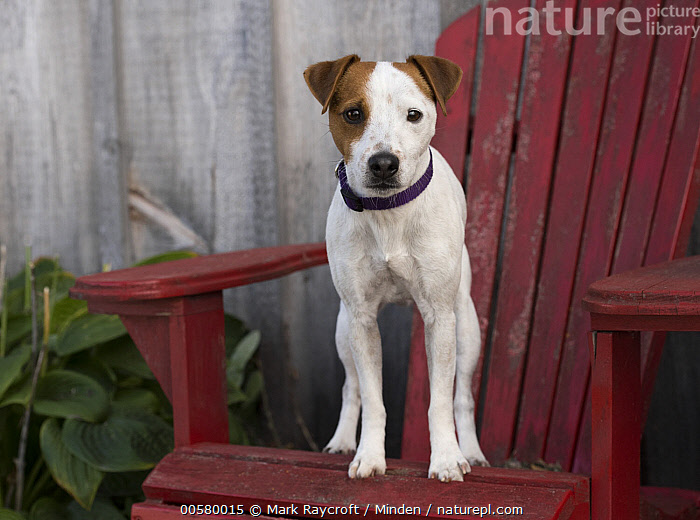Jack Russell Terrier (Canis familiaris), North America, Adult, Canis familiaris, Color Image, Day, Domestic Dog, Front View, Full Length, Horizontal, Jack Russell Terrier, Looking at Camera, Nobody, North America, One Animal, Outdoors, Photography,Jack Russell Terrier,North America, Mark Raycroft