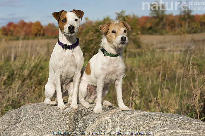 Jack Russell Terrier (Canis familiaris) pair, North America  ,  Adult, Canis familiaris, Color Image, Day, Domestic Dog, Full Length, Horizontal, Jack Russell Terrier, Nobody, North America, Outdoors, Photography, Side View, Two Animals,Jack Russell Terrier,North America  ,  Mark Raycroft
