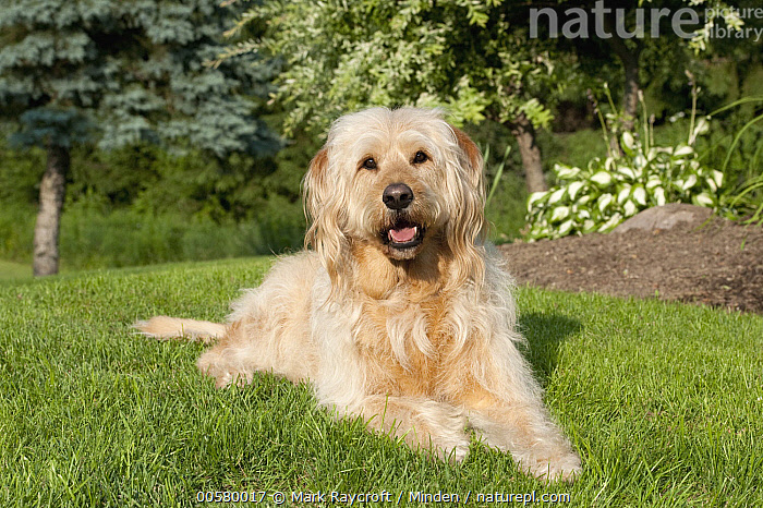 Labradoodle (Canis familiaris) male, North America  ,  Adult, Canis familiaris, Color Image, Day, Domestic Dog, Front View, Full Length, Horizontal, Labradoodle, Looking at Camera, Male, Nobody, North America, One Animal, Outdoors, Photography,Labradoodle,North America  ,  Mark Raycroft