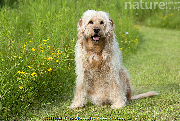 Labradoodle (Canis familiaris) male, North America, Adult, Canis familiaris, Color Image, Day, Domestic Dog, Front View, Full Length, Horizontal, Labradoodle, Looking at Camera, Male, Nobody, North America, One Animal, Outdoors, Photography,Labradoodle,North America, Mark Raycroft