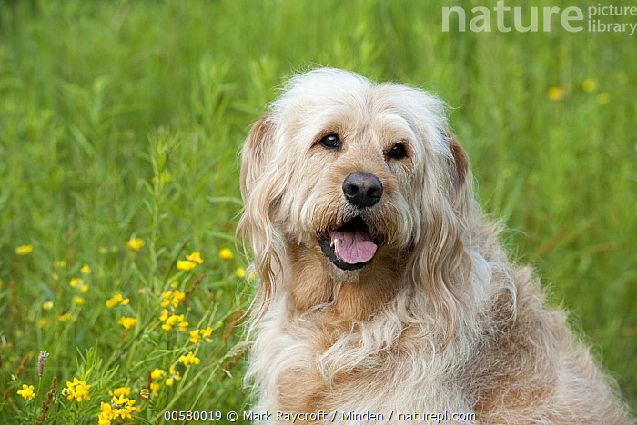 Labradoodle (Canis familiaris) male, North America, Adult, Canis familiaris, Color Image, Day, Domestic Dog, Horizontal, Labradoodle, Male, Nobody, North America, One Animal, Outdoors, Photography, Side View, Waist Up,Labradoodle,North America, Mark Raycroft